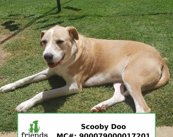 Scooby Do (Adopted)