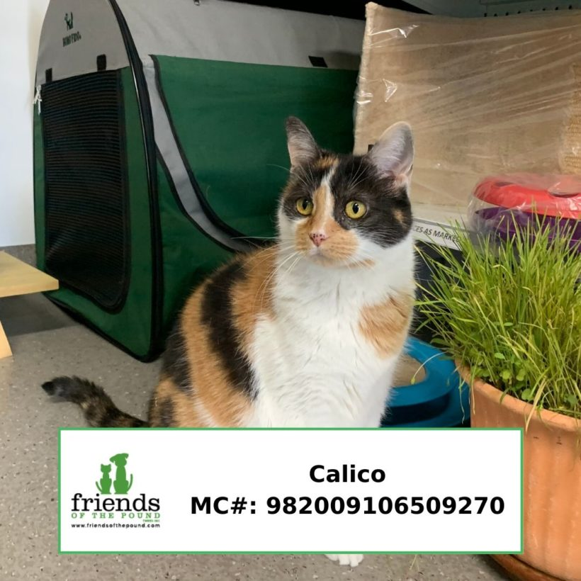 Calico (Adopted)