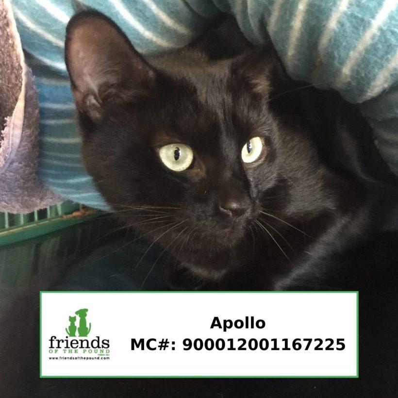 Apollo (Adopted)