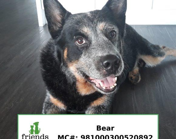 Bear (Adopted)