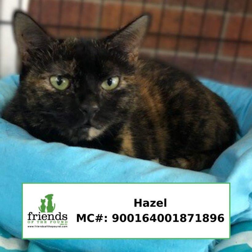 Hazel (Adopted)