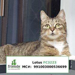 Lotus (Adopted)