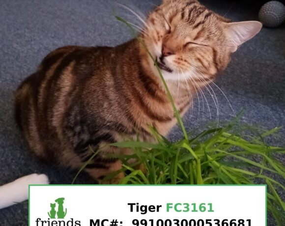 Tiger (Adopted)