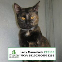 Lady Marmalade (Adopted)