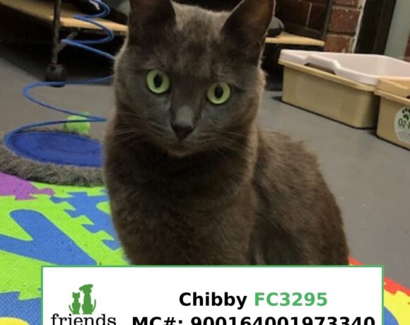 Chibby (Adopted)