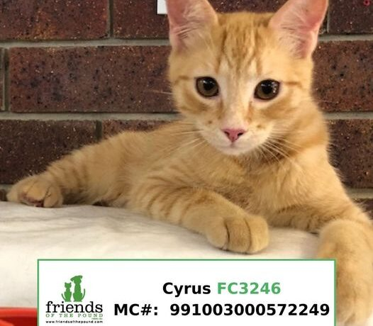 Cyrus (Adopted)