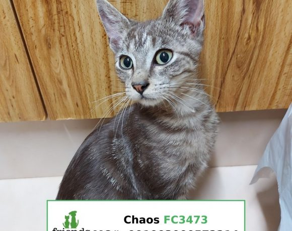 Chaos (Adopted)